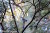 Layers of Sunset - Grey Shrike-thrush (OM-Digital) Tags: sunset wild history nikon birding 2008 sb highiso birdwatcher nikondx goodold d300s birdinginwild nikoniso camerafromhistory