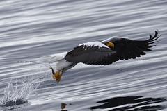 Just a small appetizer  (Alpha 2008) Tags: ocean winter sea fish nature birds japan wings nikon hokkaido pacific eagle wildlife hunting   birdsinflight    birdsofprey  bif  stellers stellersseaeagle   200500mm