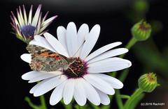 DSC_0150 (rachidH) Tags: flowers vanessa nature cosmopolitan blossoms egypt butterflies insects bee cairo papillon daisy blooms dame africandaisy cynthia paintedlady osteospermum vanessacardui blueeyeddaisy vanessedeschardons labelledame vanesse rachidh