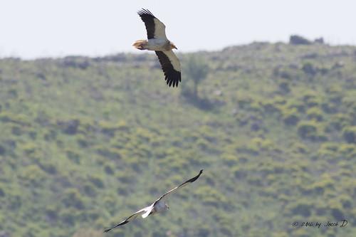 Egyptian vulture - רחם מדברי