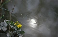 Lake (márkkraxner) Tags: sun lake flower reflection rain yellow drops gray arboretum vacratot