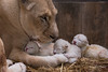 DSC_3861WM (Linda Smit Wildlife Impressions) Tags: cats white nature animal cat mammal photography big nikon outdoor african wildlife birth lion d750 cubs endangered lioness bigcats cecil carnivore lioncubs givingbirth
