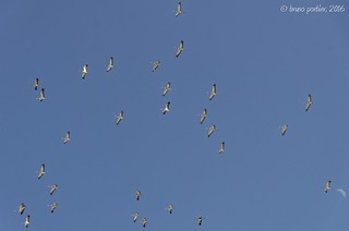 Common Crane, Grue cendrée (Grus grus) - Mont Rigi, Hautes Fagnes, BELGIUM