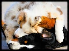 Grovigli (Aldo Capurro) Tags: australiano bernese cani nikond200