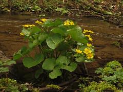 Marsh Marigold / Kingcup (aniko e) Tags: creek hiking marsh ranunculaceae sumpfdotterblume marshmarigold calthapalustris caltha kingcup dotterblume mocsriglyahr glyahr
