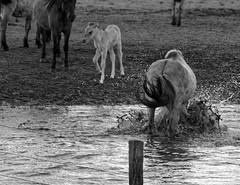 Wild Horses in black-and-white - Bathing - 2016-012_Web (berni.radke) Tags: horse pony bathing herd nordrheinwestfalen colt wildhorses foal fohlen croy herde dlmen feralhorses wildpferdebahn merfelderbruch merfeld przewalskipferd wildpferde dlmenerwildpferd equusferus dlmenerpferd dlmenpony herzogvoncroy wildhorsetrack