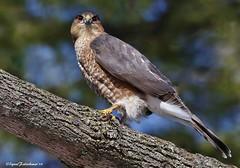 2I1A6874(3) (lfalterbauer) Tags: photographer raptor avian sharpshinnedhawk birdwatcher accipiter peacevalleypark striatus canon7dmarkii 100400mmii