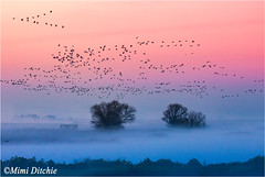 Foggy Sunrise (Mimi Ditchie) Tags: birds fog sunrise dawn merced getty gettyimages mercednationalwildliferefuge mimiditchie mimiditchiephotography