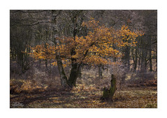 Autumn Survival (JRTurnerPhotography) Tags: uk greatbritain morning autumn trees england southwest nature leaves forest canon woodland print landscape photography dawn march photo spring woods europe photographer image unitedkingdom britain branches picture telephoto photograph stump gb wiltshire marlborough bankholiday treestump westcountry 70200mm britishcountryside savernake landscapephotography savernakeforest canon70200mmf4lis jaketurner longlensphotography canon5dmarkiii jrturnerphotography
