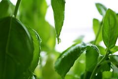 Water drops (zhaninalazarova) Tags: white plant green water closeup drop basil