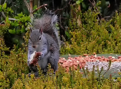 DSC_4333 You can have your cake and eat it (Rattyman76) Tags: cake grey squirrel eating feeder peanuts bananaandchocolatecake