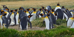 King penguin colony , Tierra del Fuego (Pabloskino) Tags: chile from white green nature birds yellow fauna del de photography penguin bay big nikon exposure king wildlife group aves panoramic bahia rey gutierrez colonia fuego tamron rare colony pinguino seabirds tierra colonies pingino chilenas maier aptenodytespatagonicus aptenodytes patagonicus inutil subantartic d7000 70300vc