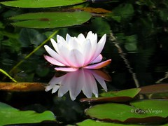 water lily ( Graa Vargas ) Tags: flower reflection waterlily reflexo spia nenfar graavargas nymphaeacaerulea lriodgua 2016graavargasallrightsreserved