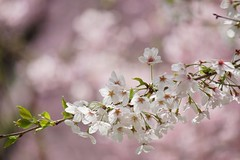 () /Prunus x yedoensis (nobuflickr) Tags: flower nature japan kyoto    thekyotobotanicalgarden prunusxyedoensis tokyocherry  yoshinocherry   20160409dsc06575