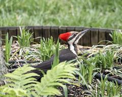 Pileated Woodpecker (female) (wplynn) Tags: wild bird birds female woodpecker indianapolis indiana woodpeckers avian pileated castleton pileatus hylatomus