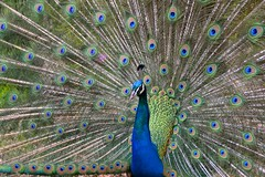 Paon    (In Explore) (R.Laffontas) Tags: blue green bird peacock vert bleu plums oiseau plumes paon