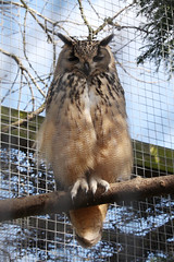 Indian Eagle Owl (NTG's pictures) Tags: wildlife centre seal sanctuary mablethorpe