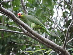 Red-lored Parrot (alison.mews) Tags: parrot redlored