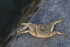 Poised at the edge (Jeff Mitton) Tags: marine crab tropical earthnaturelife wondersofnature}