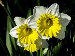 Narcissus (Daffodil / Narciso) (PriscillaBurcher) Tags: daffodil narciso narcissus bulbousperennials l1300608