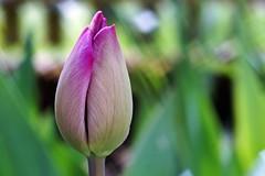 Tulip bud at the fence (Claudia G. Kukulka) Tags: plant flower fence spring tulip bud blume zaun frhling tulpe knospe tulipbud pflance tulpenknospe