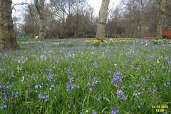 Hyde Park Corner (davidshort) Tags: london bluebells hydepark daffodils hydeparkcorner 2016