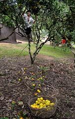 Parque Unio dos Palmares-Alagoas. (nariobarbosa) Tags: parque brasil laranja zumbi alagoas plantacao colheita porai parqueuniaodospalmares