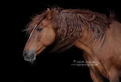 Wuthering (Hestefotograf.com) Tags: portrait horse motion beauty animal oslo norway hair caballo cheval movement wind spirit blowing headshot cavallo cavalo pferd equine mane hest paard spaniard hengst purarazaespanol equinephotography hestefotograf