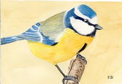 petite msange bleu (ybipbip) Tags: bird animal watercolor painting paint aquarelle peinture watercolour oiseau bluetit aquarell akvarell animaliere