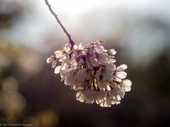 Spring 2016 Blossoms - Central Park, NYC (ravi_pardesi) Tags: nyc flowers newyork blur nature beautiful spring bokeh outdoor centralpark serene softtones 2016