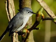 7547ex  P900  Blue-gray gnatcatcher (jjjj56cp) Tags: blue birds closeup spring tn details gray beak feathers aves p900 songbirds bluegray gnatcatcher bluegraygnatcatcher inthewild eyegleam jennypansing