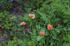 _DSC2076 (Osamu1965) Tags: flower japan zeiss garden spring sony contax jp   okayama     a7m2  carlzeissvariosonnart2870mmf3545mm
