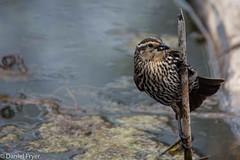 Bird on a Stick (danfryer2) Tags: bird spring elizabeth sidney lizzy naturewalk 22months ojibwaypark nikond7200