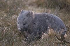 Common Wombat - Vombatus ursinus (Wildsearch) Tags: mountain mammal tas ursinus cradle vombatus commonwombat
