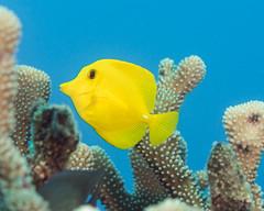 Yellow tang (Zebrasoma flavescens) (DavidR.808) Tags: ocean sea fish yellow coral hawaii pacific oahu tropical reef tang zebrasomaflavescens