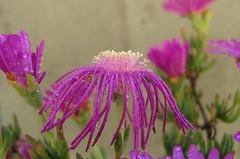 Carpobrotus acinaciformis (ermenegildore) Tags: flowers macro drops fiori gocce