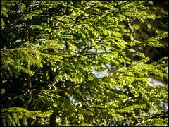 20160326-175 (sulamith.sallmann) Tags: plants detail tree green nature ast natur pflanzen tschechien czechrepublic grn ste baum zweig nadelbaum esko esk sulamithsallmann