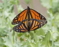 Monarchs (Danaus plexippus) (AllHarts) Tags: memphistn dixongardens monarchdanausplexippus butterflygallery