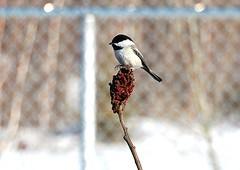 Mésange à tête noire, Black-capped Chickadee (Explored) (francepar95) Tags: bird rouge seed shrub oiseau graine arbuste vinaigrier mésangeàtêtenoire blackcappepchickadee rhusthiphina