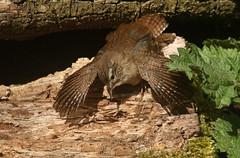 Wren (Troglodytes troglodytes) sunbathing (Sandra Standbridge.) Tags: bird animal wings open outdoor wren sunbathing logpile stingers troglodytestroglodytes wildandfree