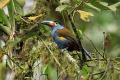 Plate-billed Mountain Toucan (ann.morrison75) Tags: toucan ecuador
