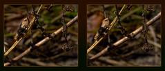Grasshopper In Hiding 1 - Crosseye 3D (DarkOnus) Tags: macro closeup insect lumix stereogram 3d crosseye pennsylvania panasonic stereo grasshopper hiding stereography buckscounty crossview dmcfz35 darkonus