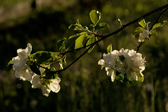 Contre-jour (Elliott Bignell) Tags: flowers tree apple backlight schweiz switzerland spring suisse blossom ostschweiz blumen backlit blooms svizzera baum apfel contrejour frhling blhen walenstadt blht grpplang