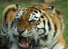 Amur Tiger (Annette Rumbelow) Tags: colour animal closeup outdoor stripes tiger endangered siberian captive majestic bigcats feedingtime carnivore amur horsemeat longleatsafaripark hugepaws tigereating annetterumbelowwilson longleatgrounds