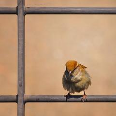 pentito (pamo67) Tags: bird animal square iron frame perched railing cornice parapet ferro ringhiera repentant pennuto fledged appollaiato parapetto pamo67 pasqualemozzillo