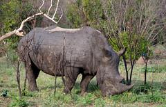 White Rhinoceros (little_duckie) Tags: africa southafrica buffalo zebra cheetah giraffe impala hyena rhinoceros krugernationalpark kruger gamedrive kudu bushbuck