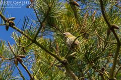 Crossbill (Loxia curvirostra) (gcampbellphoto) Tags: bird nature wildlife northernireland avian crossbill northantrim loxiacurvirostra gcampbellphoto