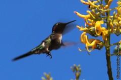 Beija-flor (4) (valdircodinhoto) Tags: parque brasil fauna go flor pssaro dos jorge ave cerrado alto nacional beijaflor so chapada veadeiros paraso gois voo colibri centrooeste