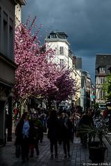 Le printemps / The spring - Rouen - France (christian_lemale) Tags: france spring nikon rouen printemps prunus d7100