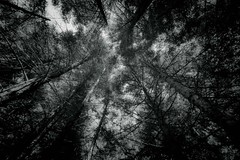 (Der Wunderbare Mandarin) Tags: trees nature forest dark woods ominous dream deep eerie treetops silence fir nightmare ambience circling